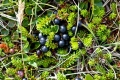 800px-Crowberries[1]