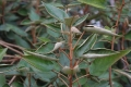 800px-Trochetiopsis_erythroxylon[1]