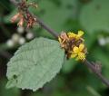 Triumfetta_rhomboidea_in_Narshapur_forest,_AP_W_IMG_1116[1]