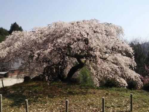 gongen-sakura.jpg