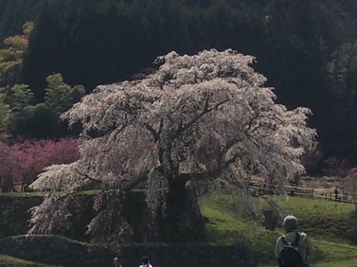 matabei-sakura.jpg