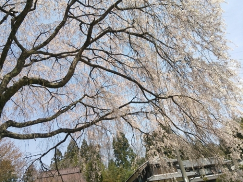 shinnkou-sakura.jpg