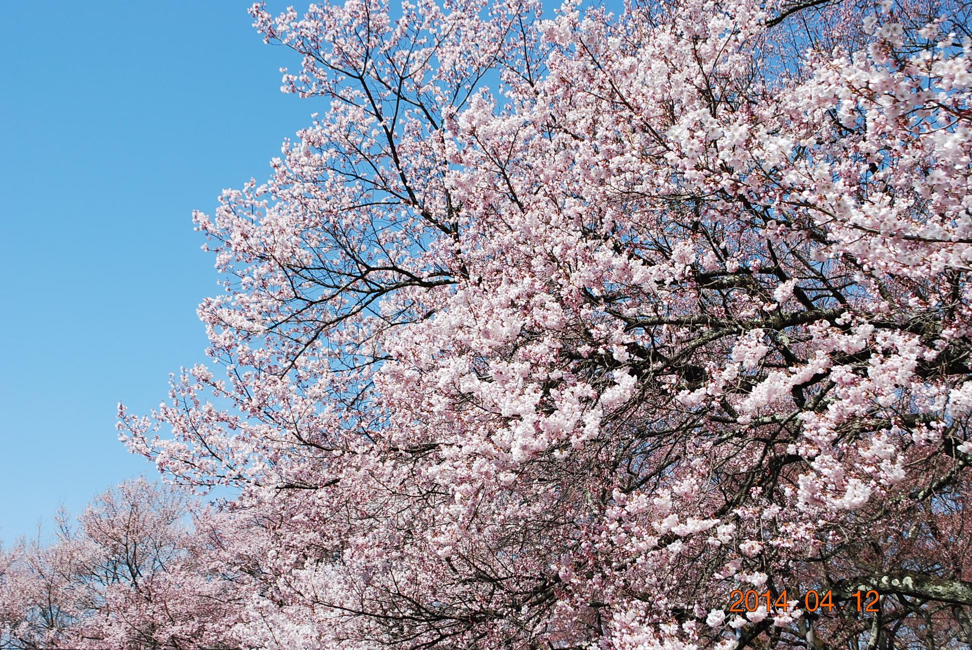高遠の桜 2