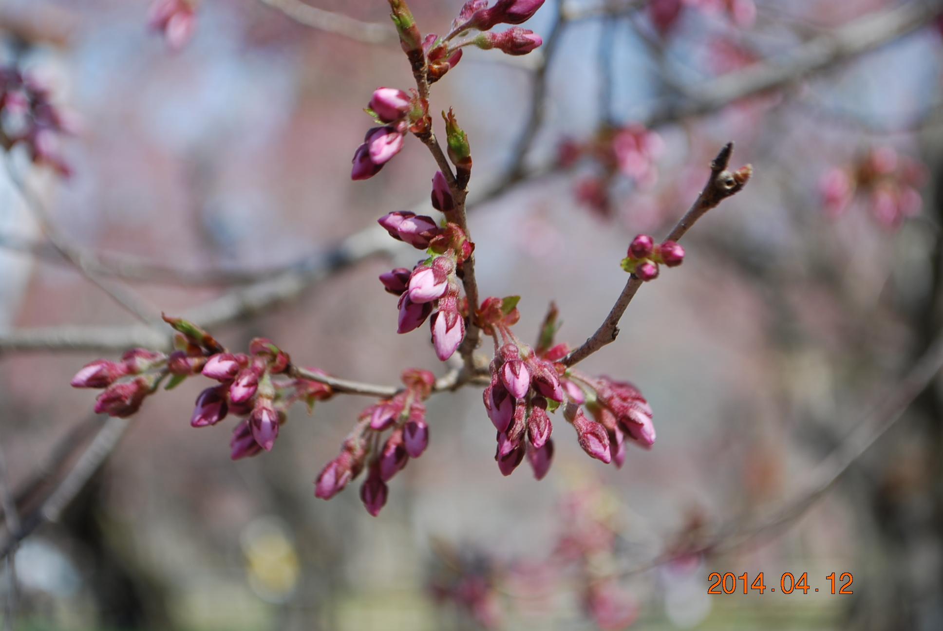 高遠の桜 6