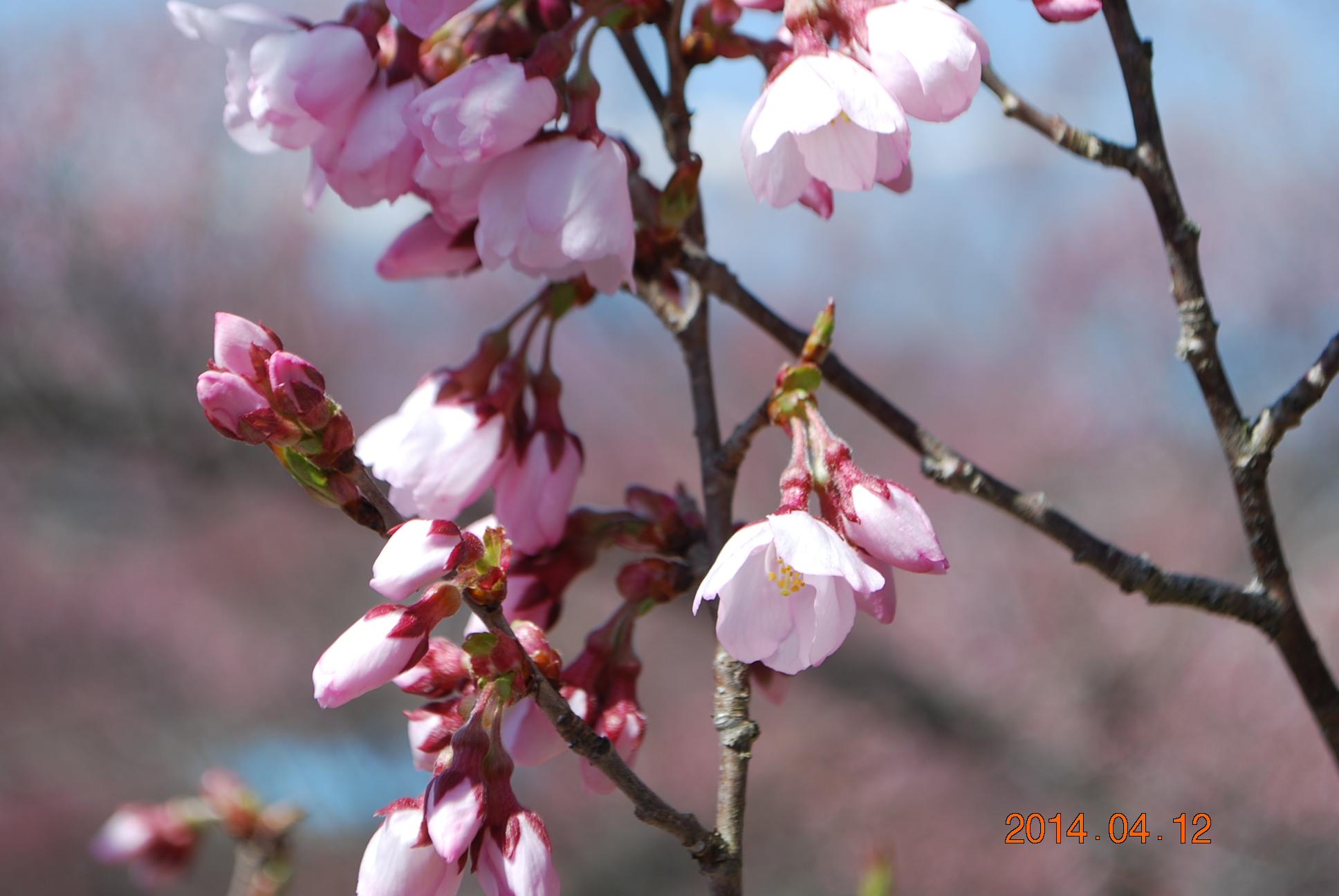 高遠の桜 4
