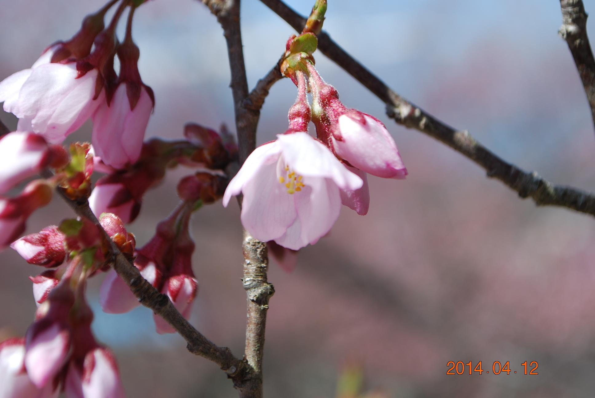 高遠の桜 5