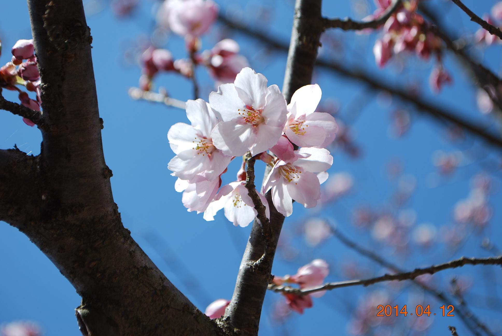 高遠の桜 7