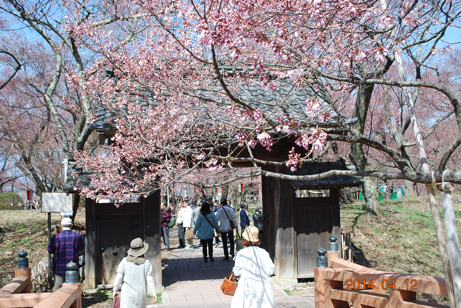 高遠の桜 8