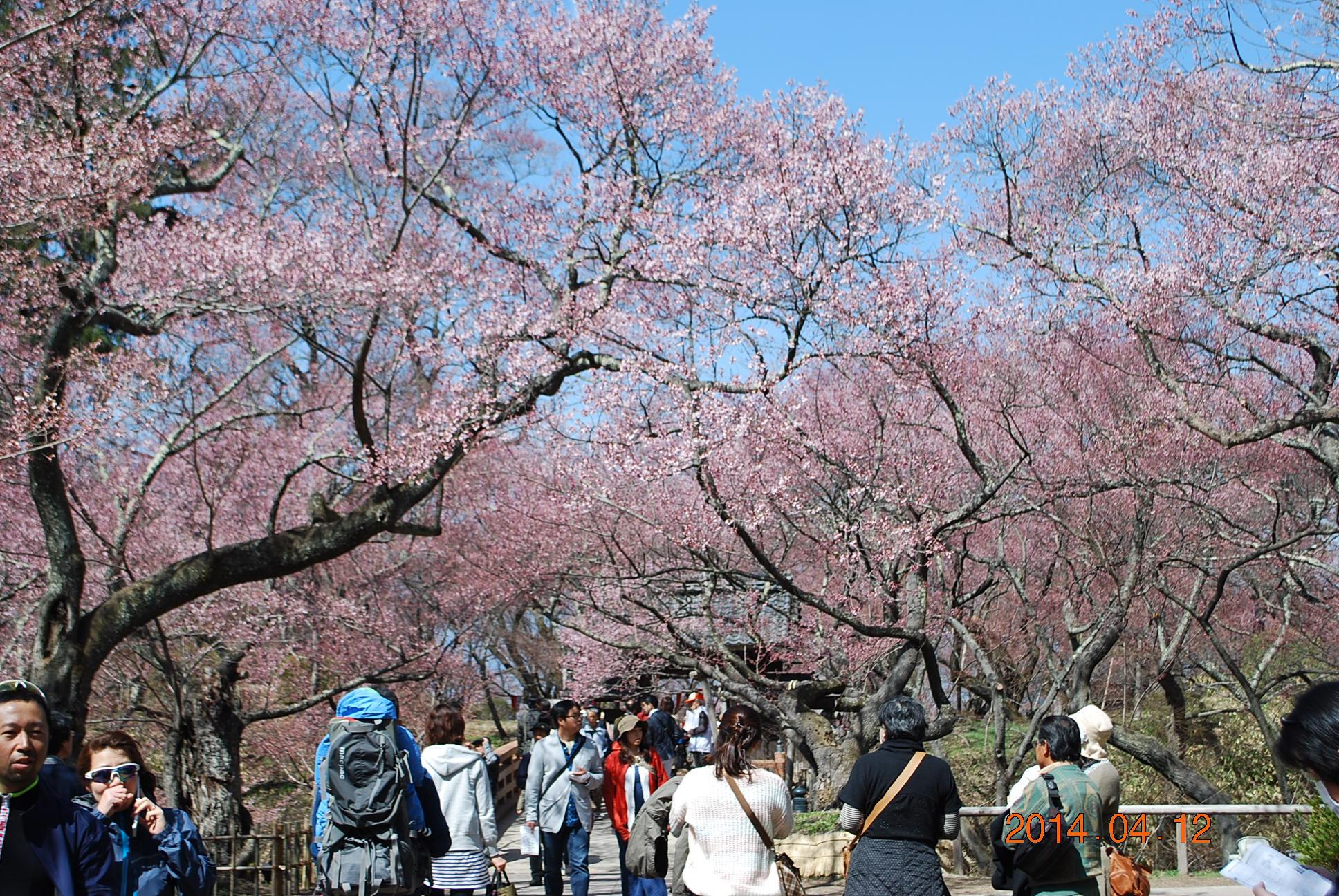 高遠の桜 9