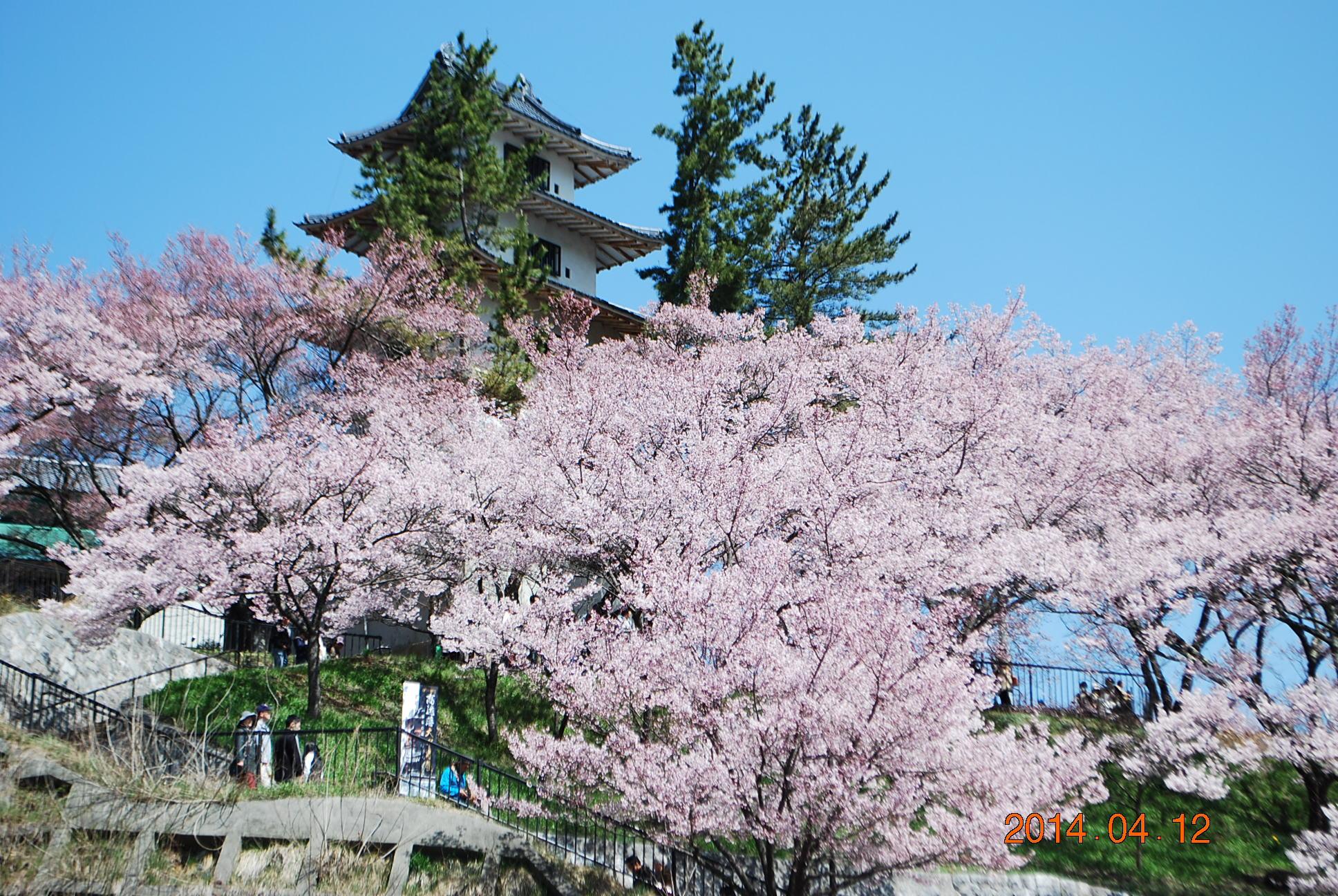 高遠の桜 10