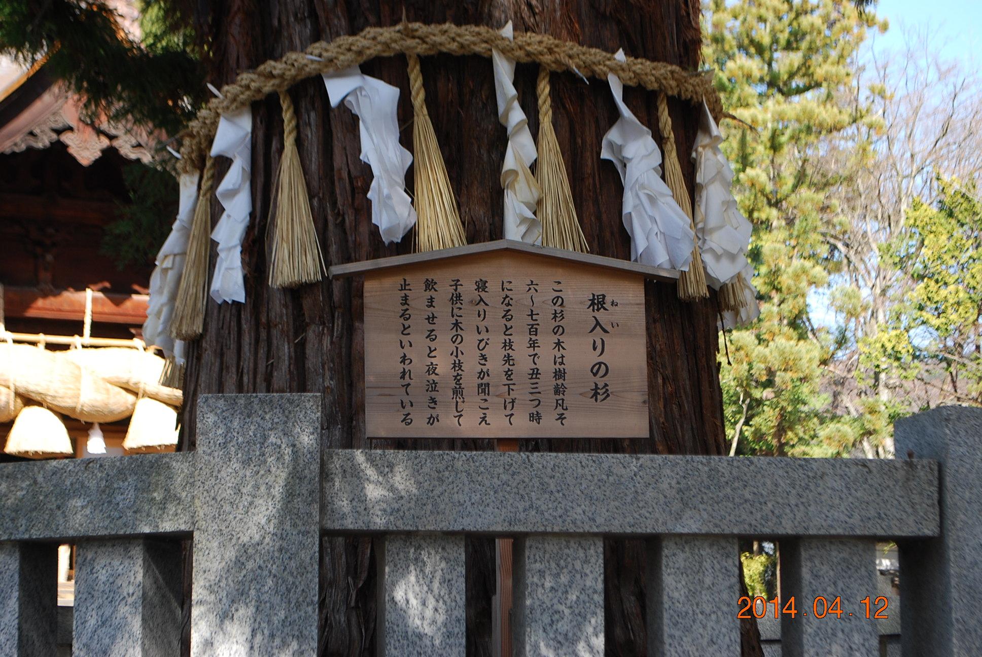 諏訪大社 根入りの杉