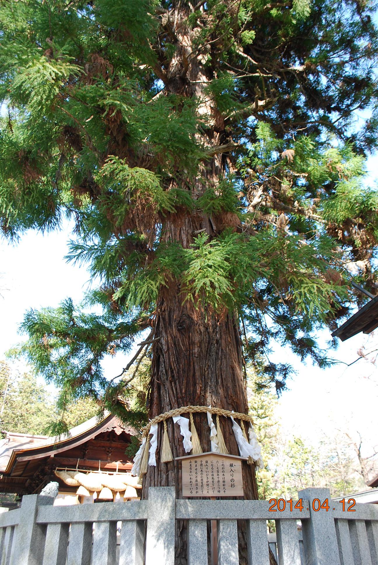 諏訪大社 根入りの杉2