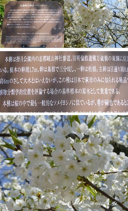 midoriyosino140328.jpg