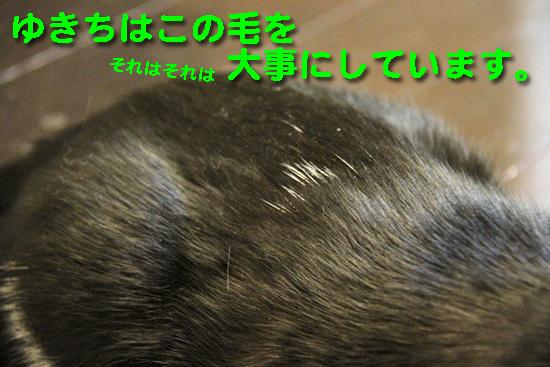 IMG_0308_Rゆきちはこの毛を大事にしています。