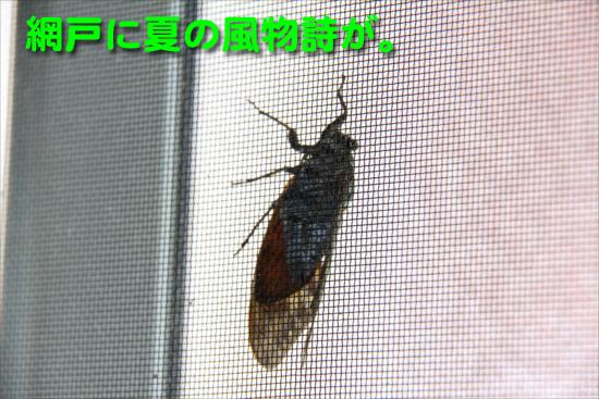 IMG_0227_R網戸に夏の風物詩が。