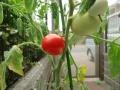 赤くなったトマト1