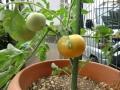赤くなったトマト2