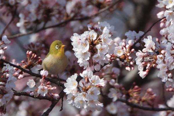 メジロと桜_弘法山