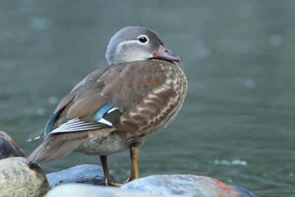 オシドリ幼鳥