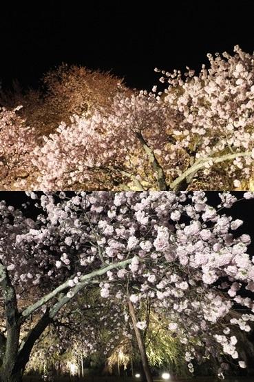 daigo_sakura140411_3-vert.jpg