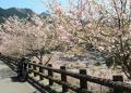 名栗湖のさくら