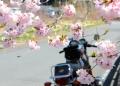 名栗湖のさくらは八重桜?