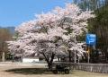 雁坂で咲いていた満開の桜