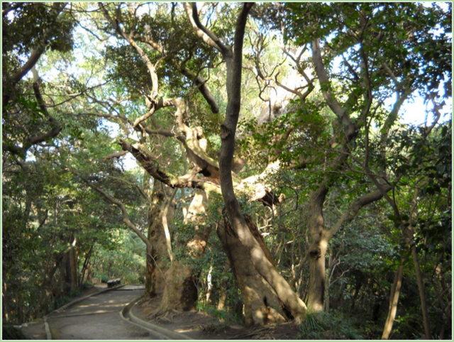 城山の奇木