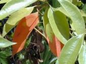 クスノキ紅葉
