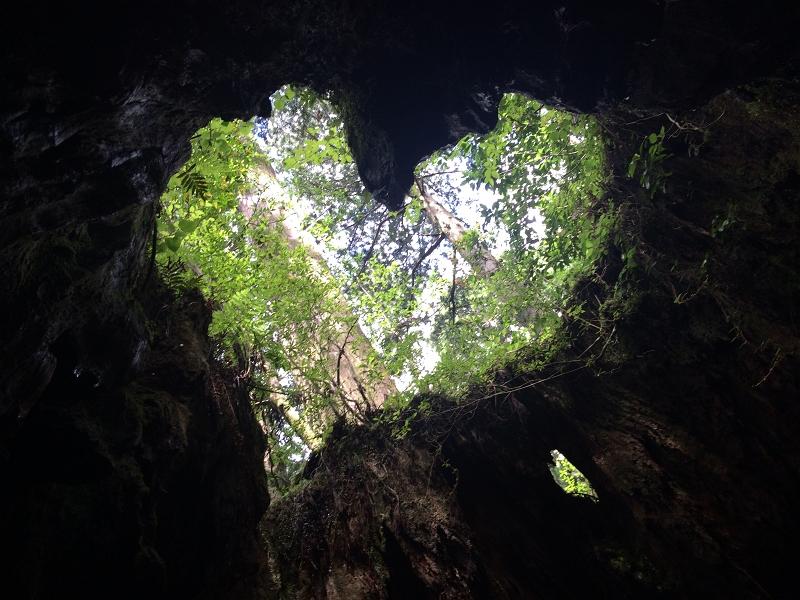 ウイルソン杉