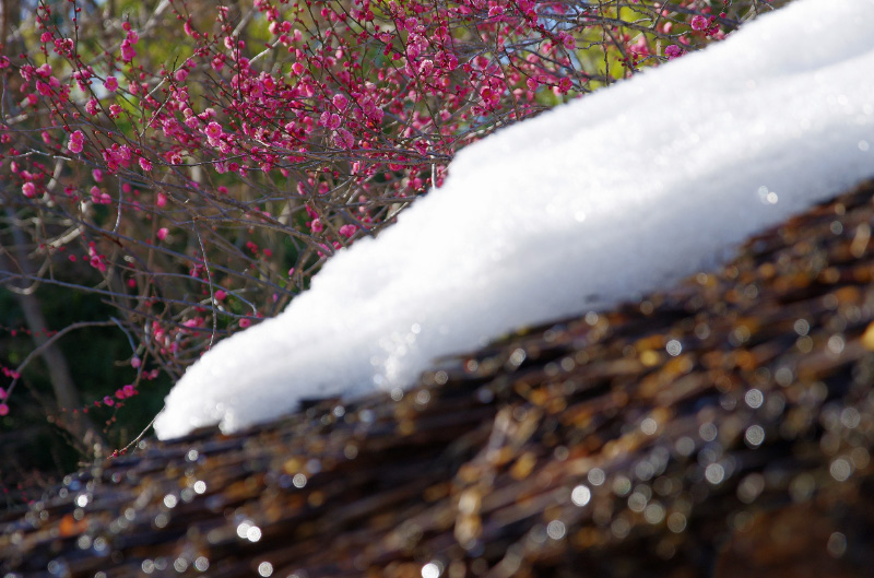 萱葺き屋根と紅梅