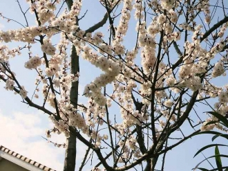 14-3-25 桜