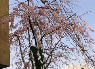 14-4-1 桜