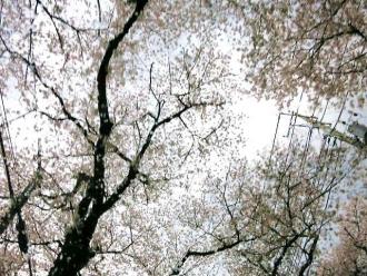 14-4-6 桜↓