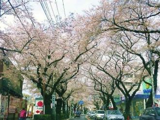 14-4-6 桜並木