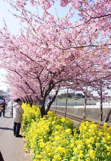 歩道沿いの桜