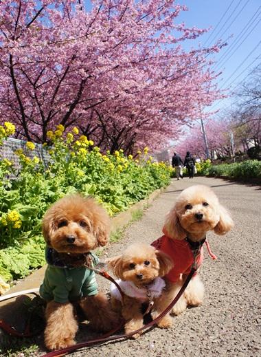 桜祭りだよ