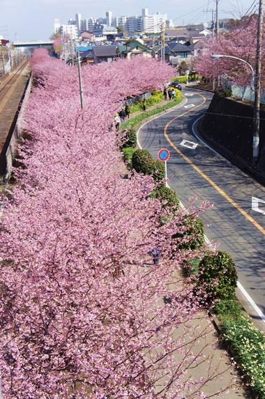 桜は続くよ