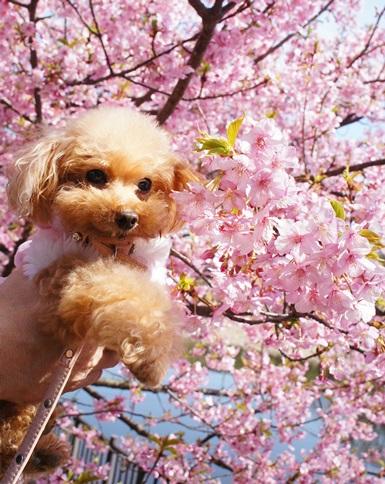 ひなたんと河津桜