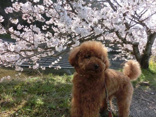 ココアと桜1