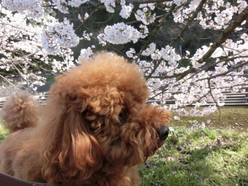ココアと桜2