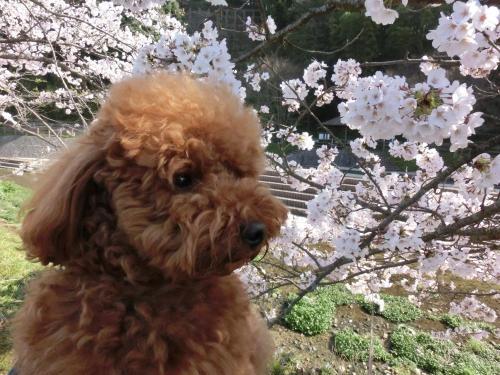 ココアと桜4