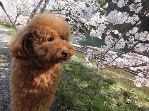 ココアと桜5