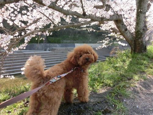 ココアと桜6