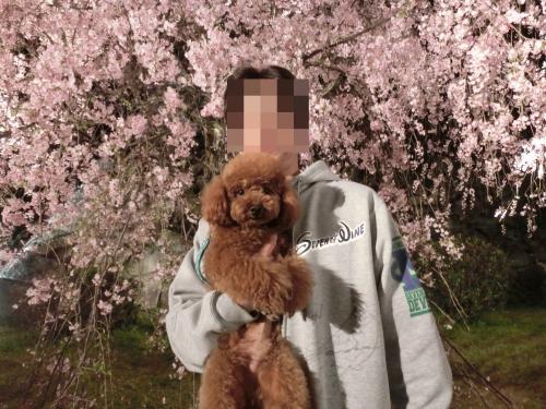 夜桜お父さんとココア