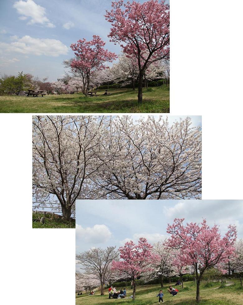 桜の谷でお花見