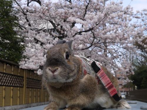 2014春うさんぽ4