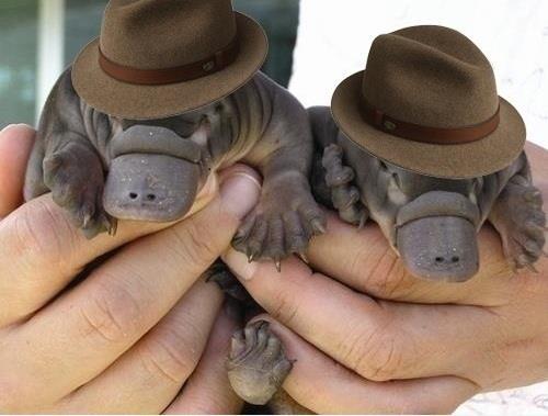 babyplatypuses.jpg