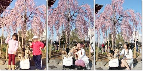 モデル&桜