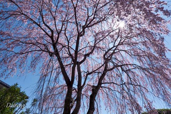 しだれ桜の慈眼寺